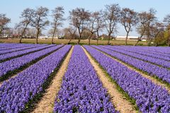 Field of violet flowers - Hyacint Royalty Free Stock Image