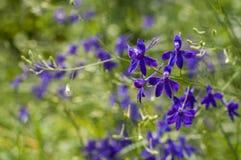 Field violet flowers Stock Photos