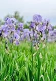 Field of violet iris flowers Stock Image