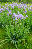 Field of violet iris flowers Stock Images