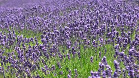 The field of violet lavender flowers. Background of growing purple lavender flowers in the field, Furano, Hokkaido royalty free stock photos