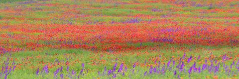 Field of violet lavender and poppy flowers Stock Photo