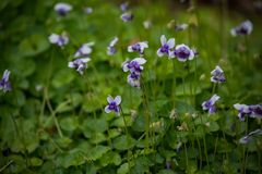 Field of Violets Royalty Free Stock Image