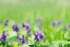 Field of violets Stock Photos