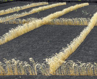 Field on volcanic soil with corn in Lanzarote Stock Photography