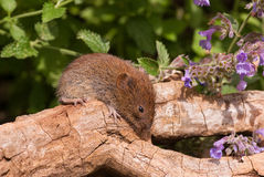 Field Vole Royalty Free Stock Photography