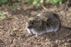Field vole Stock Photography