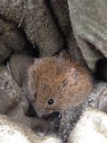 Field vole Royalty Free Stock Images