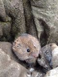 Field vole Royalty Free Stock Photo