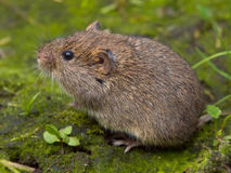 Field vole (Microtus agrestis). Field vole (Microtus agrestis)  sitting Royalty Free Stock Photos