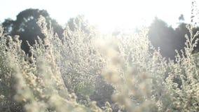 The Field w świetle słonecznym. zbiory