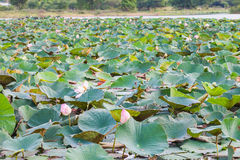 Field water lilies Royalty Free Stock Photography