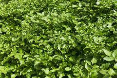 Field of watercress Plantation Stock Image