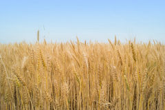 Field of weat and blue sky royalty free stock images