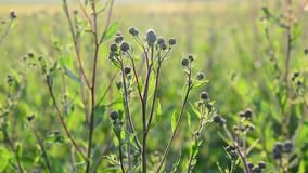 Field with weed closeup at backlit stock footage