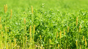 Field, the weed Royalty Free Stock Images