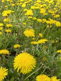 Field of Weeds. It's Dandelion season in Northern New York Royalty Free Stock Photography