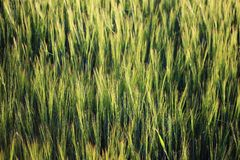 A field of wet unripe wheat barley in a sunlight after summer rain. A field of wet unripe wheat barley in a sunlight after summer rain royalty free stock image