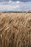 Field of wheat. Golden ears of wheat in the field Royalty Free Stock Images