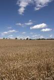 Field of wheat. Golden ears of wheat in the field Stock Photo