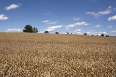 Field of wheat. Golden ears of wheat in the field Royalty Free Stock Image