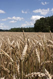 Field of wheat. Golden ears of wheat in the field Royalty Free Stock Photography