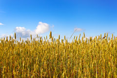 Field of wheat. Field of yellow, ripe wheat on a sunny day Royalty Free Stock Image