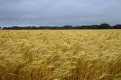 Field of wheat. A field of golden yellow wheat under a stormy blue sky royalty free stock photography