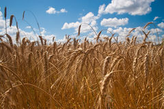 Field of wheat. Beautiful field of ripe wheat under blue cloudy sky Royalty Free Stock Photography