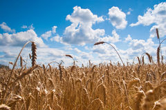 Field of wheat. Beautiful field of ripe wheat under blue cloudy sky Royalty Free Stock Photos