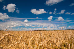 Field of wheat. Beautiful field of ripe wheat under blue cloudy sky Royalty Free Stock Photo