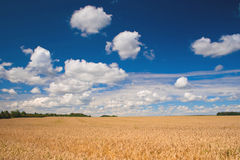 Field of wheat. Beautiful field of ripe wheat under blue cloudy sky Stock Images
