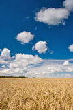 Field of wheat. Beautiful field of ripe wheat under blue cloudy sky Stock Image