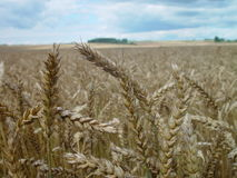Field of wheat. In summer Royalty Free Stock Photo