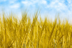 Field of wheat. Field of yellow and ripe wheat Royalty Free Stock Photo