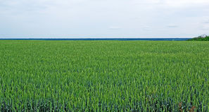 Field of wheat. Stock Images