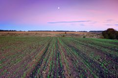 Field of wheat. Field of young, just germinating wheat. Ukraine royalty free stock images