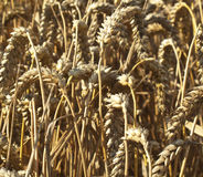 Field of Wheat. A close up of a field of wheat royalty free stock photo