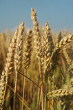Field with wheat. Corn ready for the harvest Stock Photo