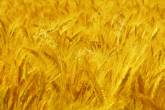 Field of wheat Stock Photo