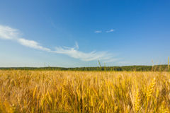Field of wheat. In a sunny day Stock Photography