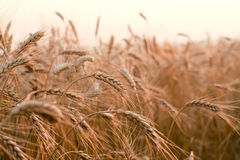Field of wheat. On sunset, rye Royalty Free Stock Photos