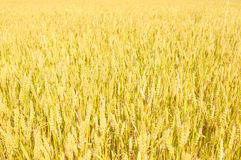 Field of Wheat. Wide view of golden wheat field in the sun Stock Images