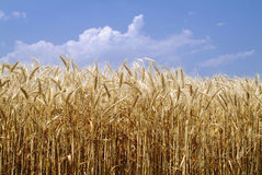 Field of wheat. Crops on wind in a summer day Stock Image