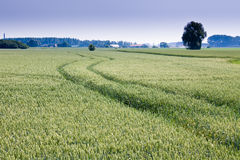 Field of wheat. One green field of wheat with tractor track Stock Image
