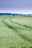 Field of wheat. One green field of wheat with tractor track in portrait format Stock Photography