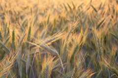 Field of wheat. Two ears of wheat bend towards each other in the field of wheat stock photography