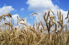 Field of wheat. Summer stock image