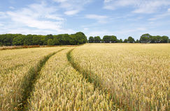 Field of wheat Stock Image