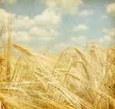 Field of wheat. Stock Photos